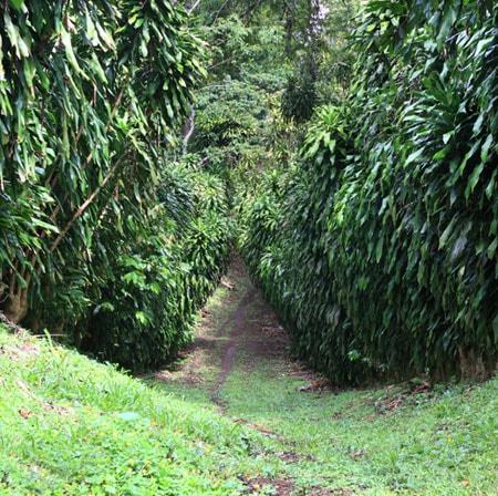Chicchi di caffè monorigine del Nicaragua